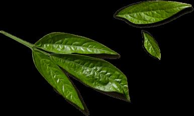 KOI Thé leaf